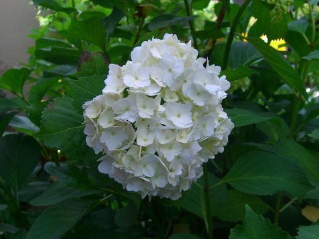 紫陽花:クリックして大きな画像でご覧下さい